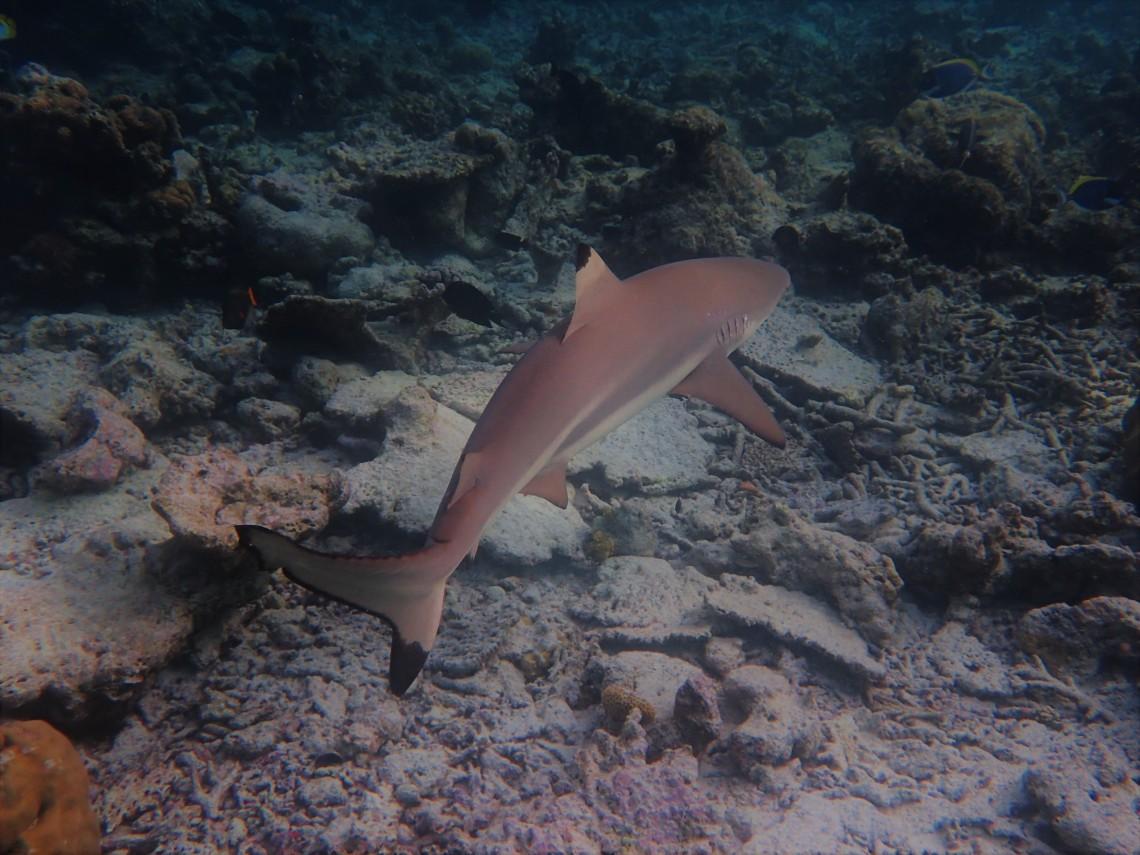 Black Tip Reef Shark Maldives