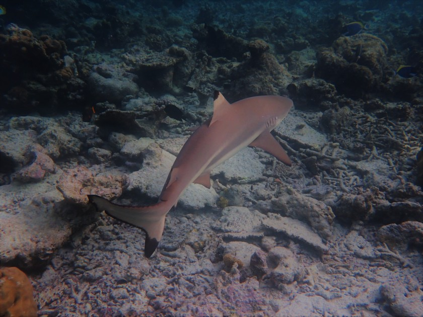 Black Tip Reef Shark Maldives